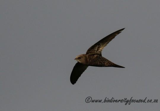 Africa Black Swift (Apus barbatus)
