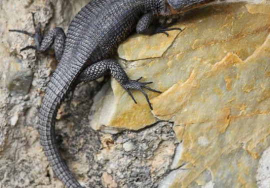 Blue-spotted Lizard (Ninurta coeruleopunctatus)