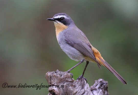Cape Robin Chat (Cossypha caffra)