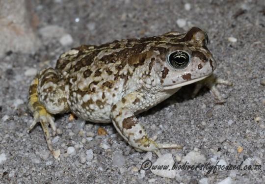 Cape Sand Toad (Vandijkophrynus angusticeps)