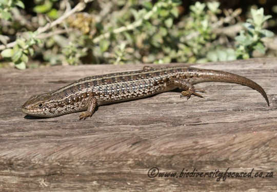 Cape Skink (Trachylepis capensis)