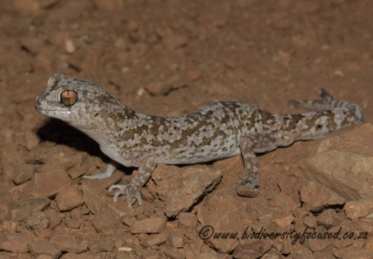 Common Banded Gecko (Pachydactylus mariquensis)