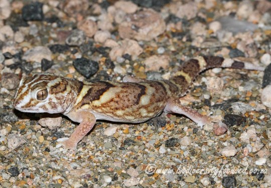 Common Giant Gecko (Chondrodactylus angulifer)