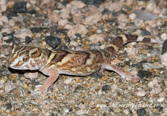 Common Giant Gecko (Chondrodactylus angulifer angulifer) - female
