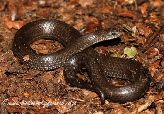 Common Slug Eater (Duberria lutrix rhodesiana)