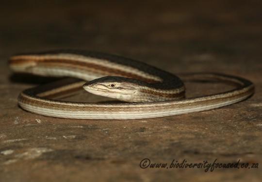 Coppery Grass Lizard (Chamaesaura aenea)