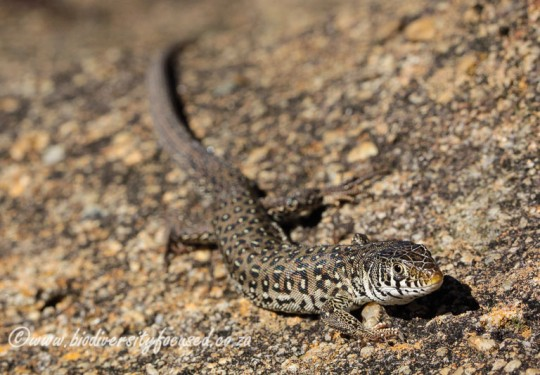 Deladandes Sandveld Lizard (Nucras lalandii)