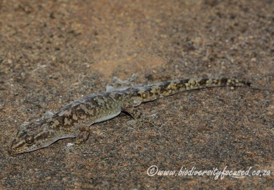 Drakensberg Flat Gecko (Afroedura nivaria)