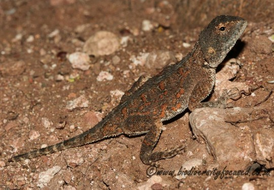 Eastern Ground Agama (Agama aculeata distanti)