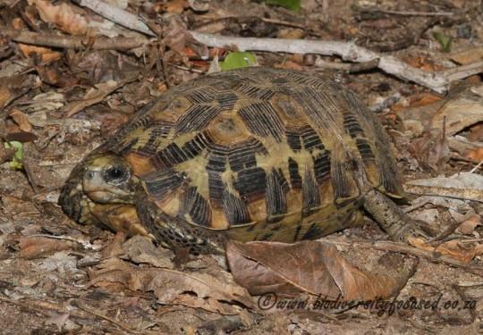Eastern Hinged-back Tortoise (Kinixys zombensis)