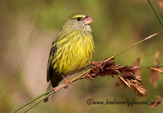 Forest Canary Female (Crithagra scotops)