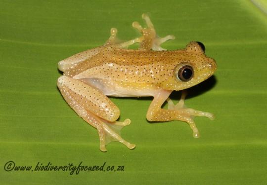 Greater Leaf-folding Frog (Afrixalus fornasinii)