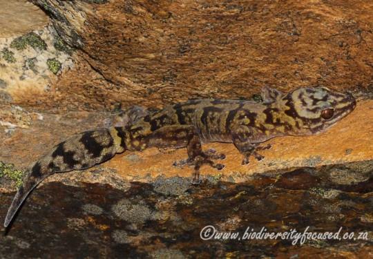 Hawequa Flat Gecko (Afroedura hawequensis)