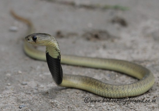 Anchietas Cobra (Naja anchietae)