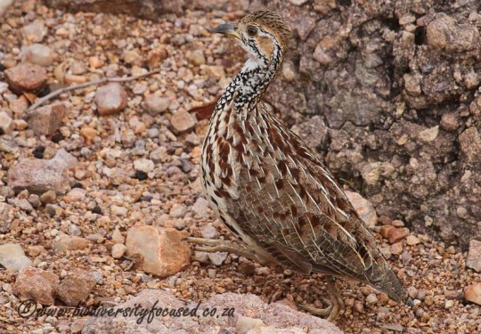Orange River Francolin (Scleroptila levaillantoides)