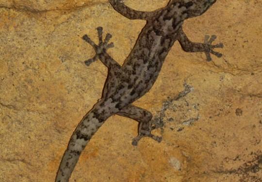 Pondo Flat Gecko (Afroedura pondolia)