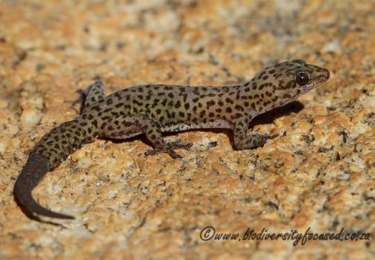 Purcells Gecko (Pachydactylus purcelli)