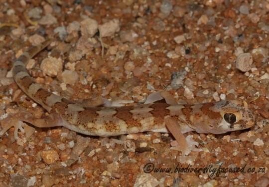 Quartz Gecko (Pachydactylus latirostris)
