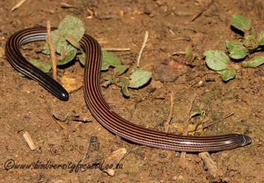 Richards Legless Skink (Acontias richardi)