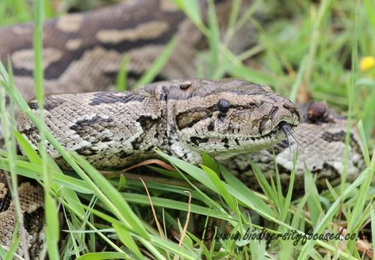 South African Python (Python natalensis)