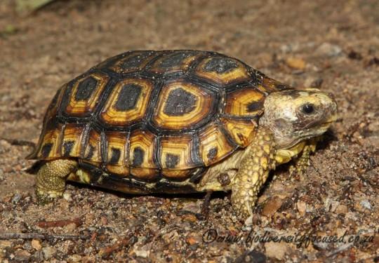 Spekes Hinged-back Tortoise (Kinixys spekii)