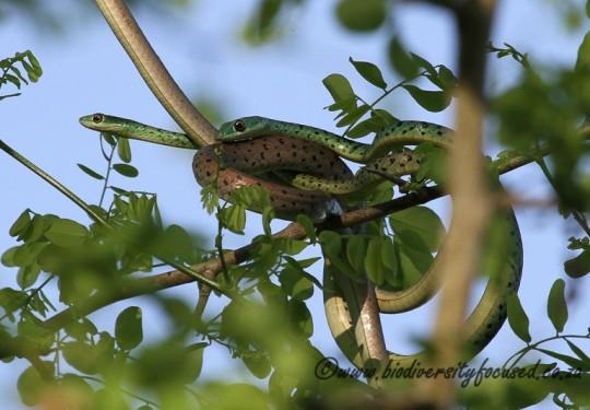 Spotted Bush Snake mating pair (Philothamnus semivariegatus)