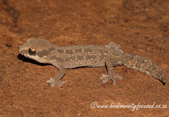 Spotted Gecko (Pachydactylus maculatus)