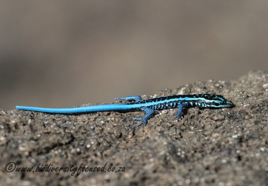 Angolan Blue-tailed Skink (Trachylepis laevis)
