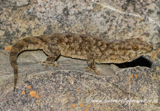 Thin-skinned Gecko (Pachydactylus kladaroderma)