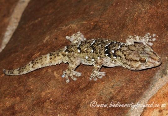 Turners Gecko (Chondrodactylus turneri)