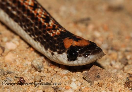 Two-striped Shovel-snout (Prosymna bivittata)