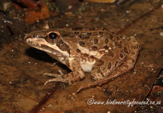 Udzungwa Grass Frog (Ptychadena uzungwensis)