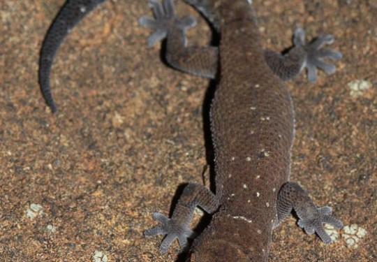 Van Sons Gecko (Pachydactylus vansoni)
