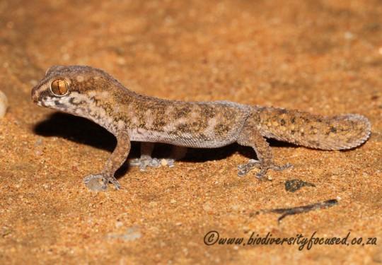 Western Cape Gecko (Pachydactylus labialis)