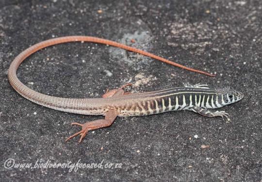 Western Sandveld Lizard (Nucras tessellata)
