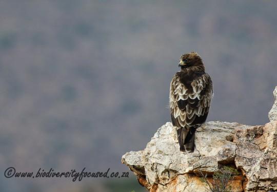 Booted Eagle (Aquila pennatus)