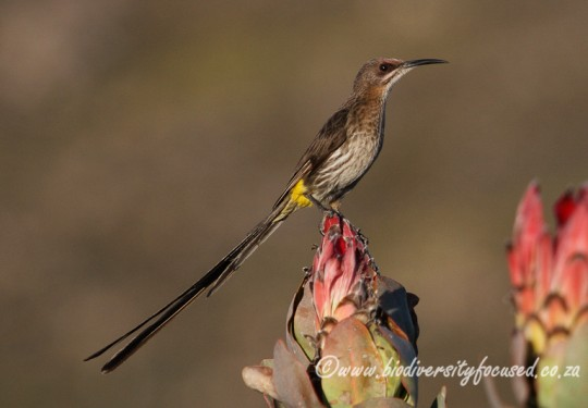 Cape Sugarbird (Promerops cafer)
