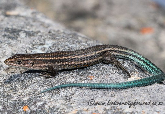 Common Mountain Lizard (Tropidosaura montana)
