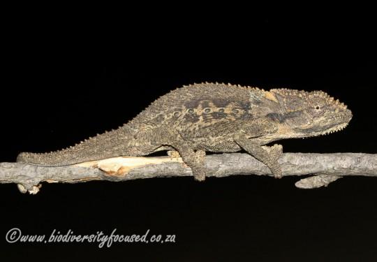 Swartberg Dwarf Chameleon (Bradypodion atromontanum)