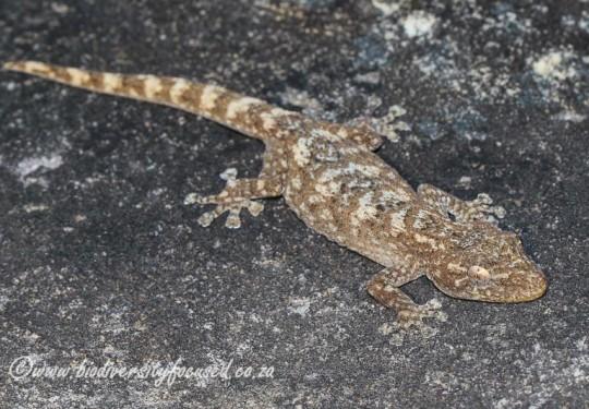Swartberg Leaf-toed Gecko (Afrogecko swartbergensis)
