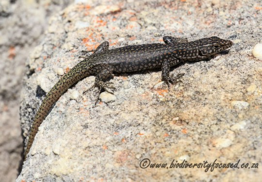 Southern Rock Lizard (Australolacerta australis)