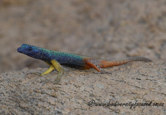 Augrabies Flat Lizard (Platysaurus broadleyi) - male
