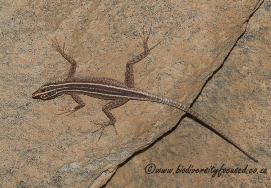 Augrabies Flat Lizard (Platysaurus broadleyi) - female