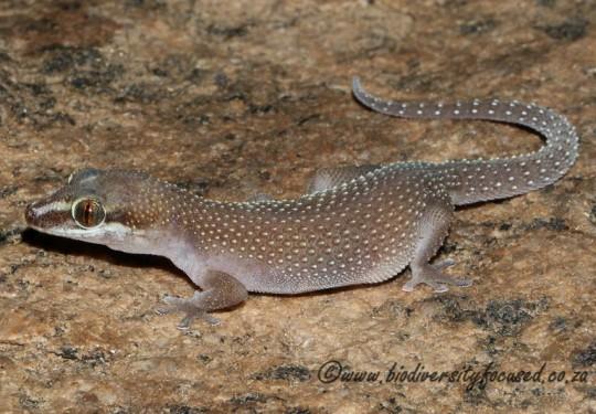 Augrabies Gecko (Pachydactylus atorquatus)
