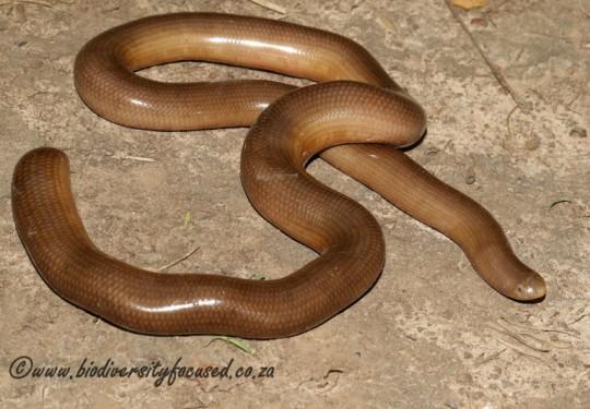 Bibrons Blind Snake (Afrotyphlops bibronii)