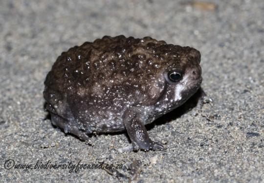 Bushveld Rain Frog (Breviceps adspersus pentheri)