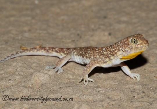 Common Barking Gecko (Ptenopus garrulus garrulus)