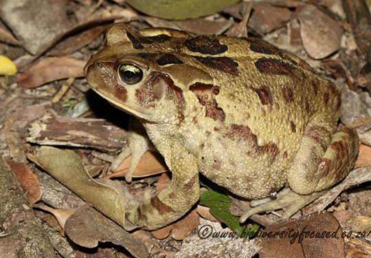Eastern Leopard Toad (Sclerophrys pardalis)