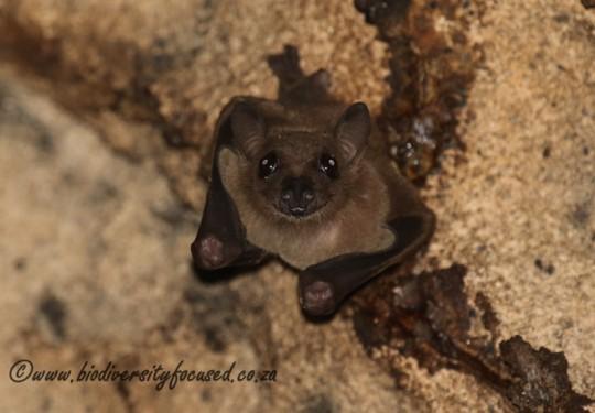 Egyptian Fruit-bat (Rousettus aegyptiacus)