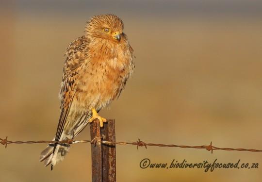Greater Kestrel (Falco rupicoloides)